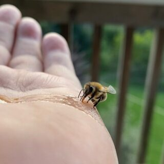 Found a cold bee 🐝 put some honey on my hand and then the lifeless bee ... a bit of a warm and some food and she flew back to the hive #bee